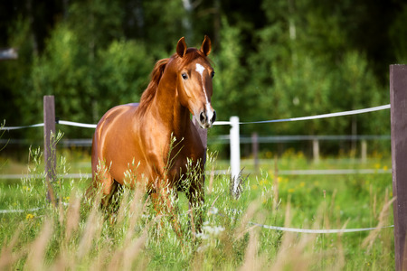 trot: Red horse runs trot on the pasture