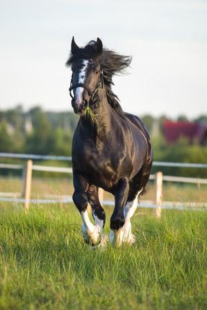 vladimir: Black Vladimir draft horse runs gallop Stock Photo