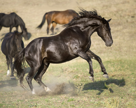Black stallion rearing up in freedom