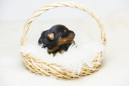 10: 10 days doberman puppy Stock Photo