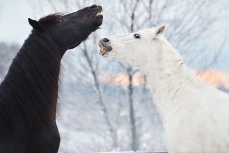 friesian: Black Friesian horse and white Orlov trotter are playing