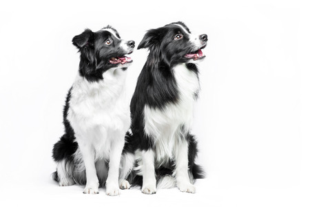 Two border collie sitting on a gray background