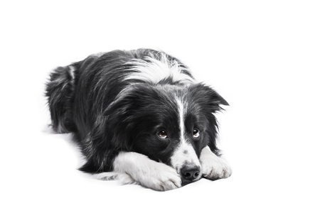 Portrait of a Border Collie on a white background