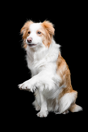 border collie: Red border collie female isolated on black