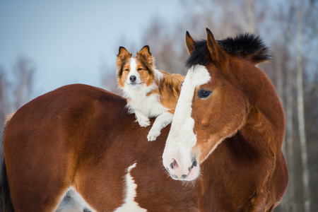 red horse: Draft horse and red border collie dog