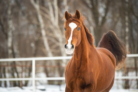 red horse: Red Trakehner horse runs gallop Stock Photo
