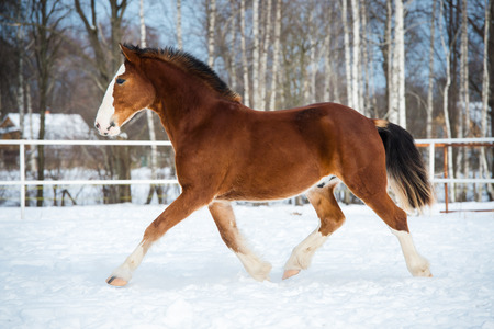trot: Bay color draft horse runs trot in winter time