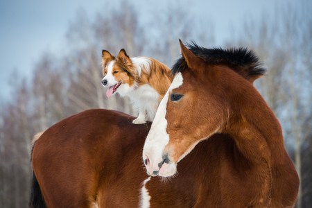 shire horse: Draft horse and red border collie dog