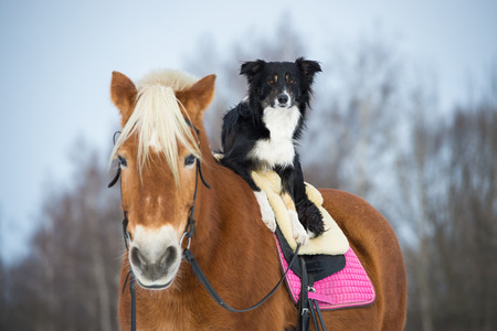shire horse: Draft horse and black border collie dog Stock Photo