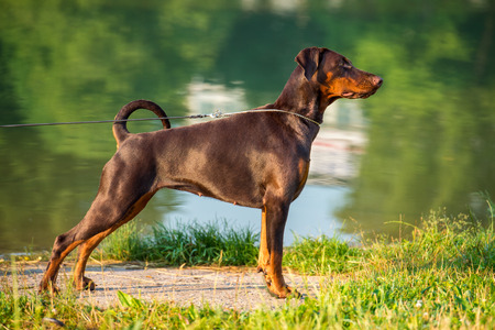 working hours: Brown doberman stands in the rack on summer background Stock Photo