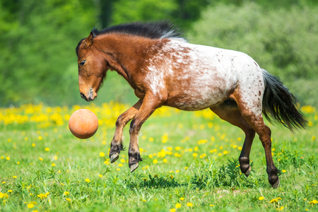 appaloosa: Appaloosa horse playing with a ball on the meadow in summer