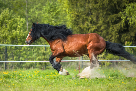 vladimir: Vladimir Heavy Draft horse playing on the meadow