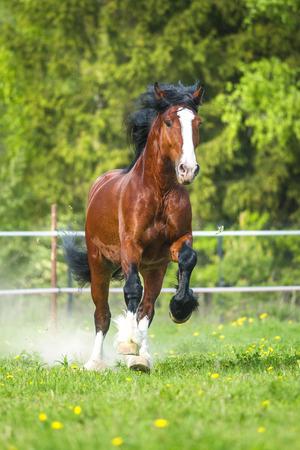 Bay Vladimir Heavy Draft horse runs gallop Stock Photo