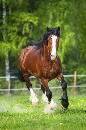 to gallop: Bay Vladimir Heavy Draft horse runs gallop Stock Photo