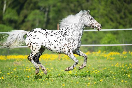 appaloosa: Appaloosa horse runs gallop on the meadow in summer Stock Photo