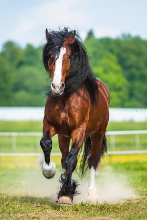 chestnut male: Bay Vladimir Heavy Draft horse runs gallop Stock Photo