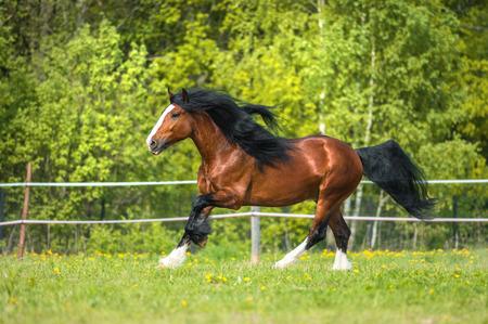 animales de la selva: Vladimir pesado caballo jugando en el prado Foto de archivo