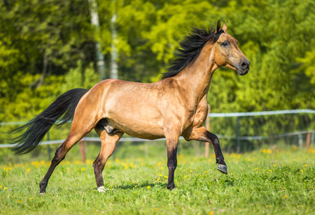 chestnut male: Golden bay Akhal-teke horse runs gallop on the meadow