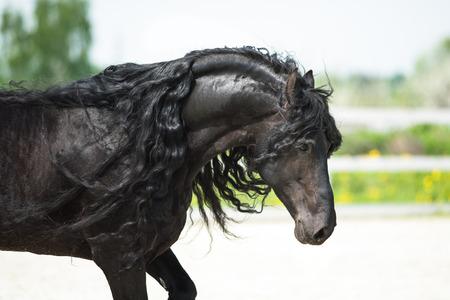 friesian: Black Friesian horse, portrain in motion in summer