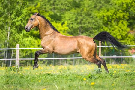Golden bay Akhal-teke horse runs gallop on the meadow