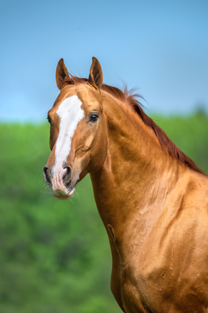 red horse: Golden red Don horse portrait in summer Stock Photo