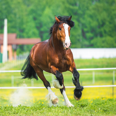 chestnut male: Vladimir Heavy Draft horse playing on the meadow
