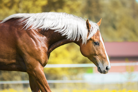 mane: Red horse with silver mane, portrait on natural background