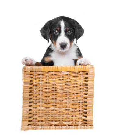 Tricolor puppy in a basket isolated on  white background