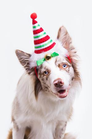 elves: Red merle border collie dog portrait on light grey background Stock Photo