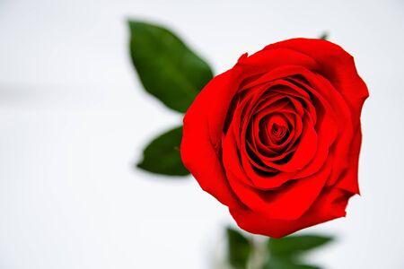 白い孤立した背景に赤いバラ。