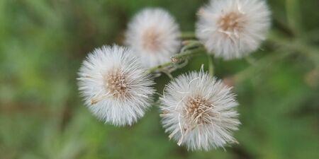 Common dandelion of white color. Фото со стока