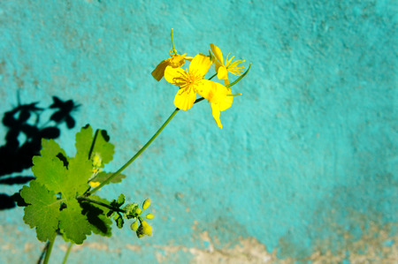 yellow small flower against a turquoise wall background Stock Photo