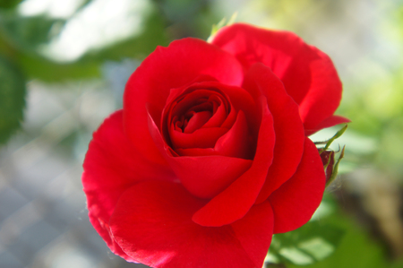 red wild rose,beautiful close ap flover one Stock Photo