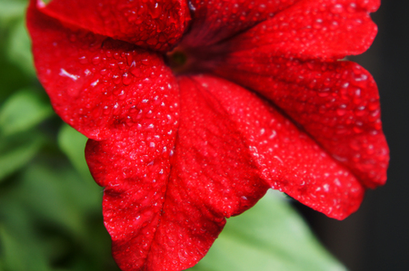 red petunia flower close-up with drops of spring rain