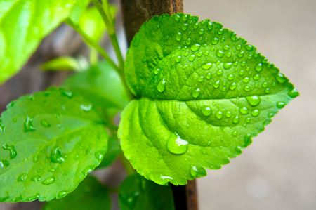 green leaf of fruit tree with raindrops