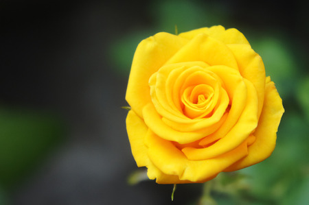 wild yellow rose photo close-up, in rose garden yellow green background