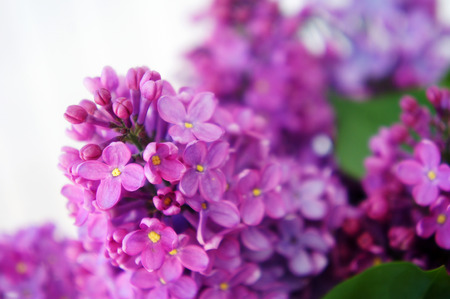 flowers lilac purple close-up, a bunch of lilacs, lilac branches grow, spring flowers, bright blue, flowering seasonal Stock Photo