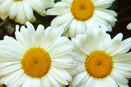 White big daisy flower daisy flowers close up yellow middle white big daisy flower daisy flowers close up yellow middle white petals mightylinksfo
