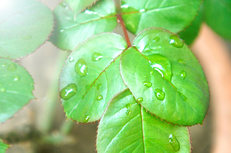 green rose leaf with rain drops closeup. Green red rose leaves with red streaks and clear drops of water.