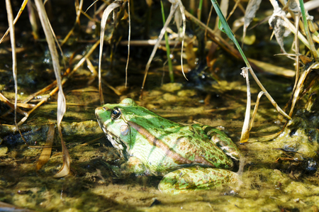 fat frog, thick green toad sitting in a pond