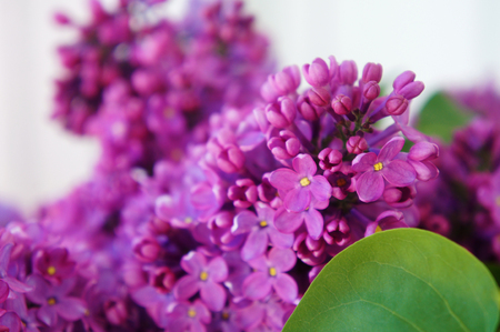 Macro image of spring lilac violet flowers. spring lilac flowers. Stock Photo