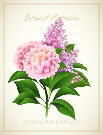 Syringa and Hydrangea flower . Botanical Vector illustration