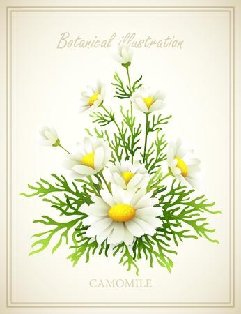 camomile: Chamomile Flower vintage vector illustration
