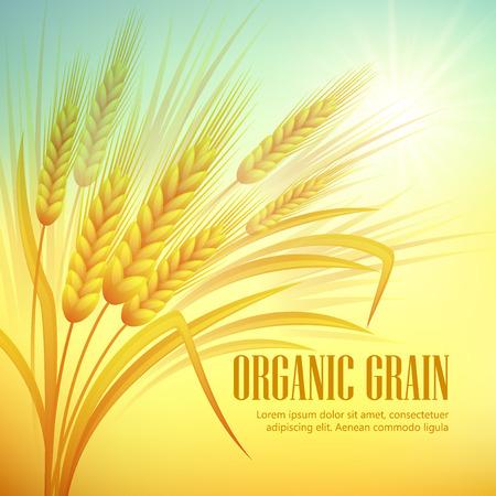 cosecha de trigo: Trigo fondo del campo. Ilustración del vector EPS 10 Vectores