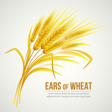 cosecha de trigo: Espigas de trigo. Ilustración del vector EPS 10 Vectores