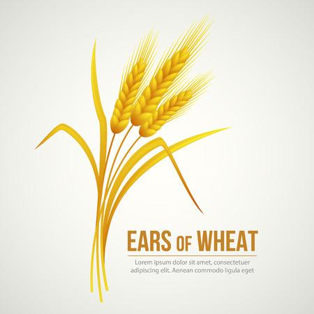 Spighe di grano. Illustrazione vettoriale EPS 10 Archivio Fotografico - 41989730