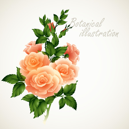 flower rose: Botanical illustration of Vintage floral card