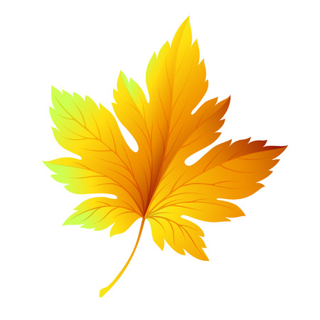 fall trees: Fall leaf isolated in white.  Illustration