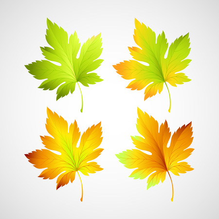 fall leaves: Set fall vector leaves for your design Illustration