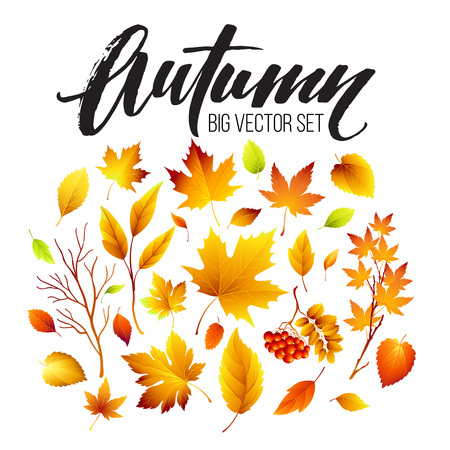 fall leaves on white: Color autumn leaves on white background. Fall leaf set. Illustration